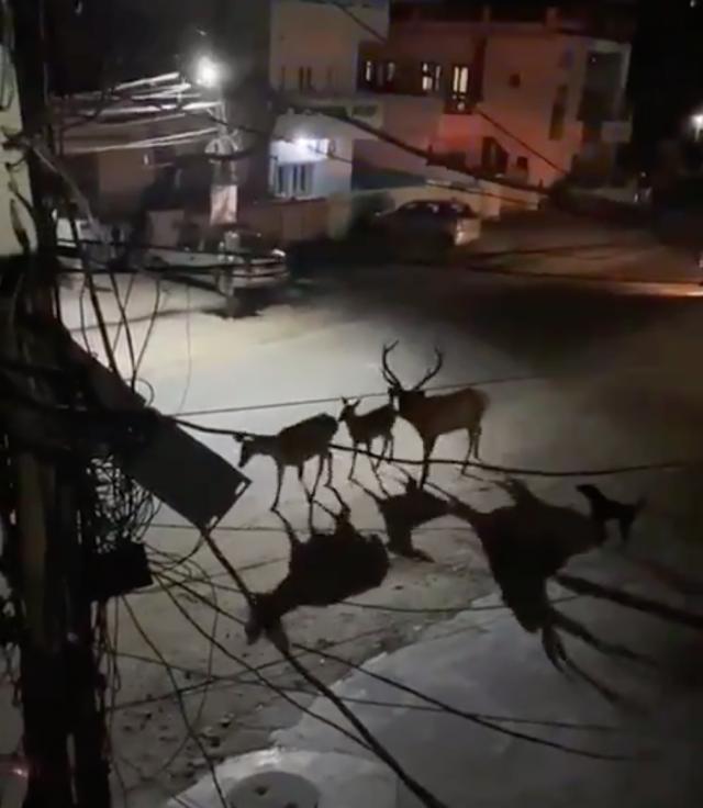 Опустевшие города заполонили дикие звери