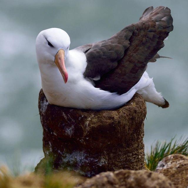 albatrosz