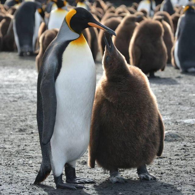 Király pingvin