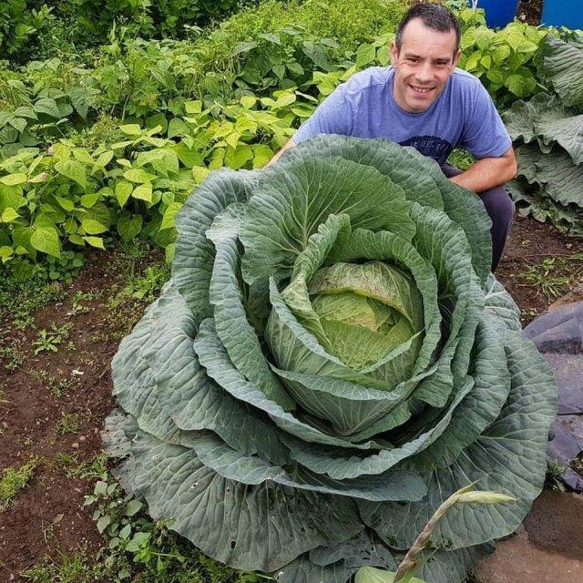 Огромный кочан капусты