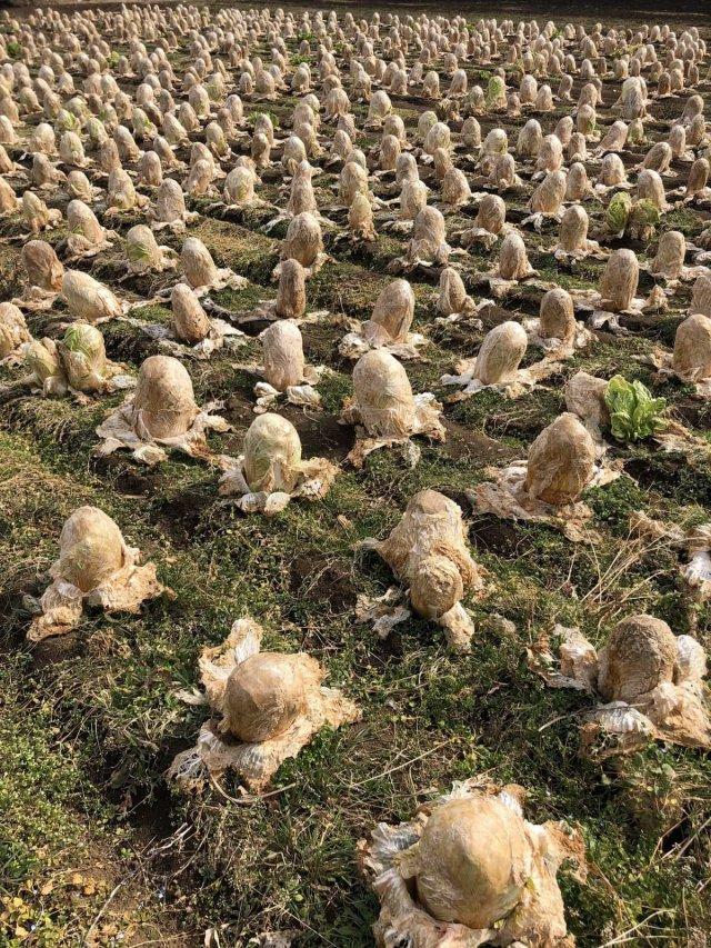 А так растет китайская капуста
