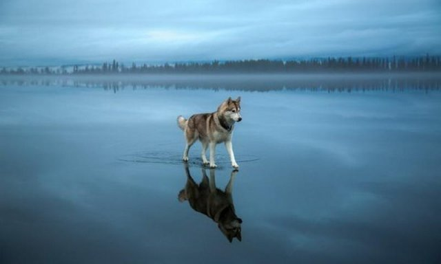 Хаски на озере