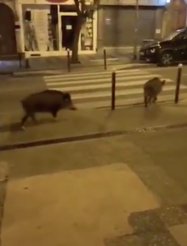 Дикие животные заполонили города