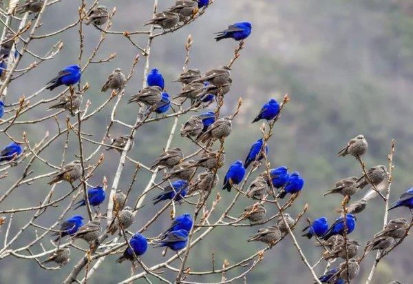 Все самки этих воробьиных коричневые, а самцы - синие
