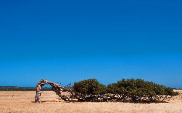 Из-за мощнейших ветров в Западной Австралии, некоторым деревьям приходится расти горизонтально