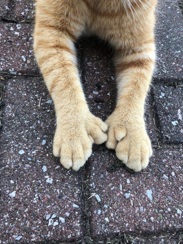 Котик с полидактилией