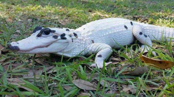 И такое бывает - крокодил с витилиго