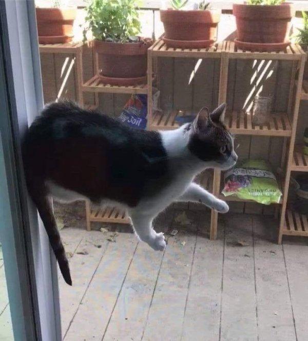 Кошачья левитация