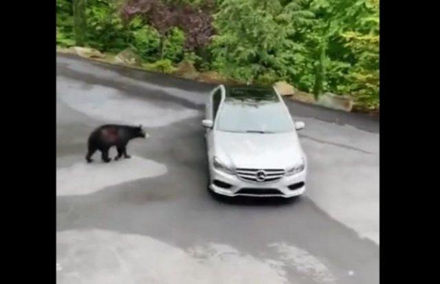 Живая сигнализация, или медведю понравился дорогой Mercedes