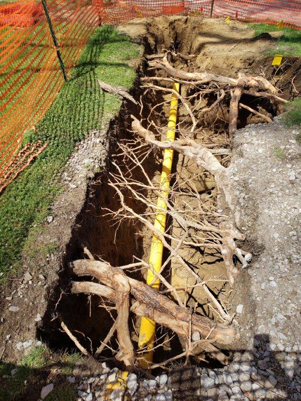 Коммунальщики вырыли яму, не нарушая целостность корневой системы