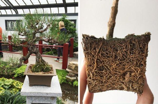 Корни дерева бонсай
