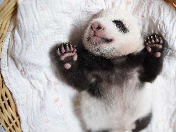 Крошка панда, которому чуть больше месяца