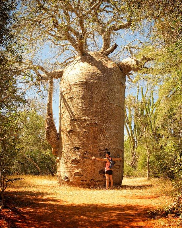 Баобаб на острове Мадагаскар