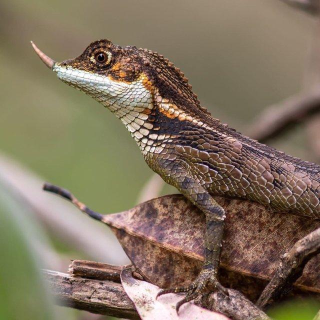 Ящерица-единорог со Шри-Ланки