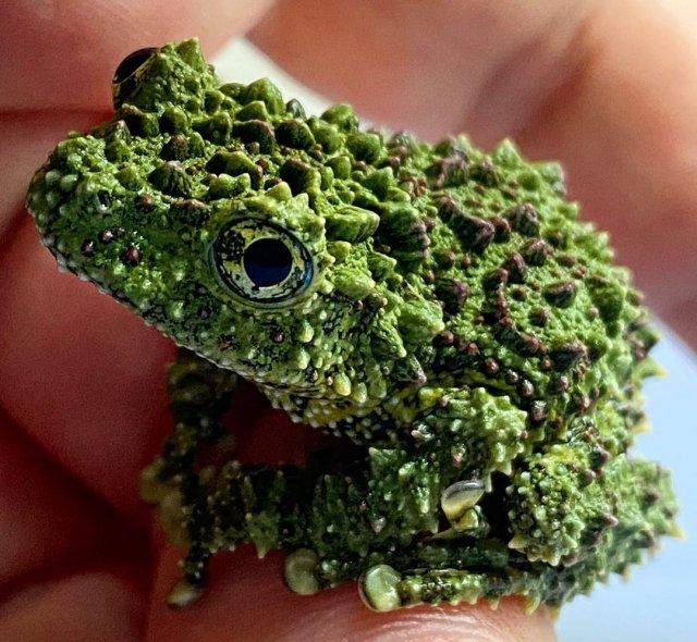 Моховая лягушка