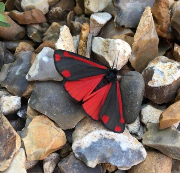 """Эту бабочку называют """"Кровавой медведицей"""""""