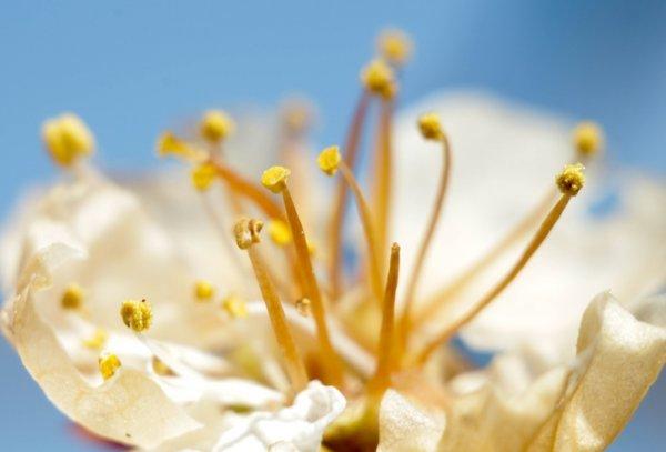 Тычинки цветка