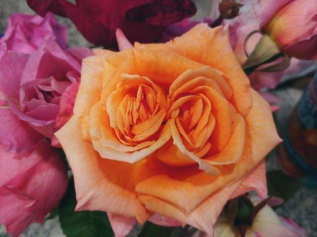 Бутон розы с двойным цветком
