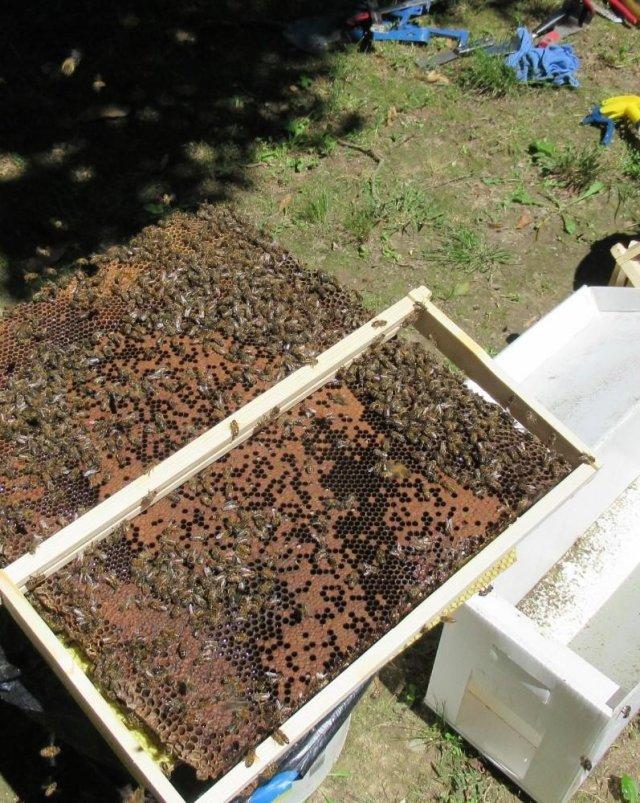 Пчелы построили улей в стене дома