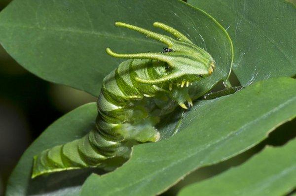 Гусеница-дракон