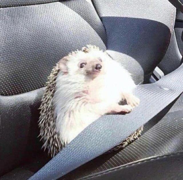 Ежик пристегнулся на пассажирском сиденье