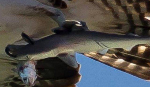 Хищная птитца поймала тигровую акулу!