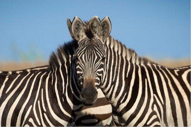 Спор века: какая зебра стоит впереди - левая или правая?