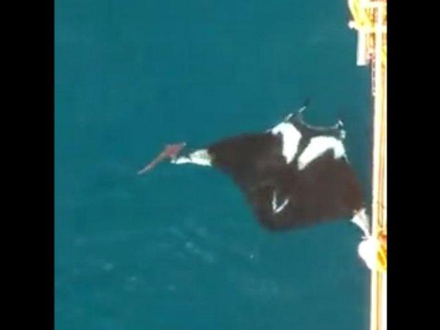 В Тринидаде заметили гигантского ската