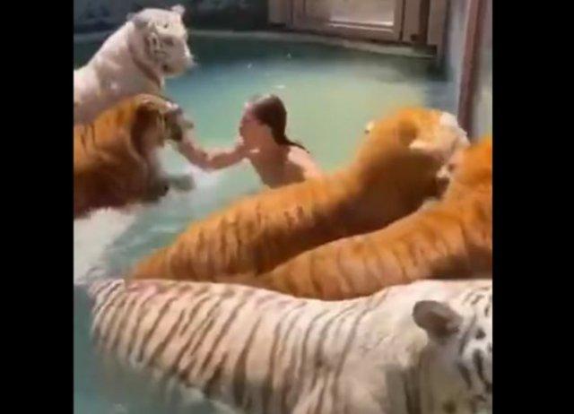 Поплавали бы в бассейне с тиграми?