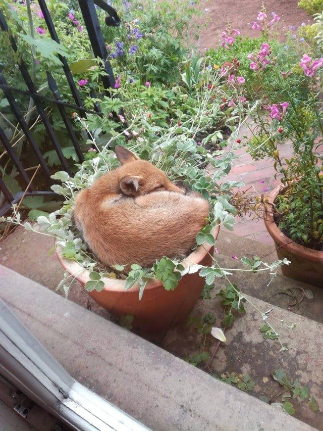 Забавные случаи с лисами, которые произошли у пользоваталей сети