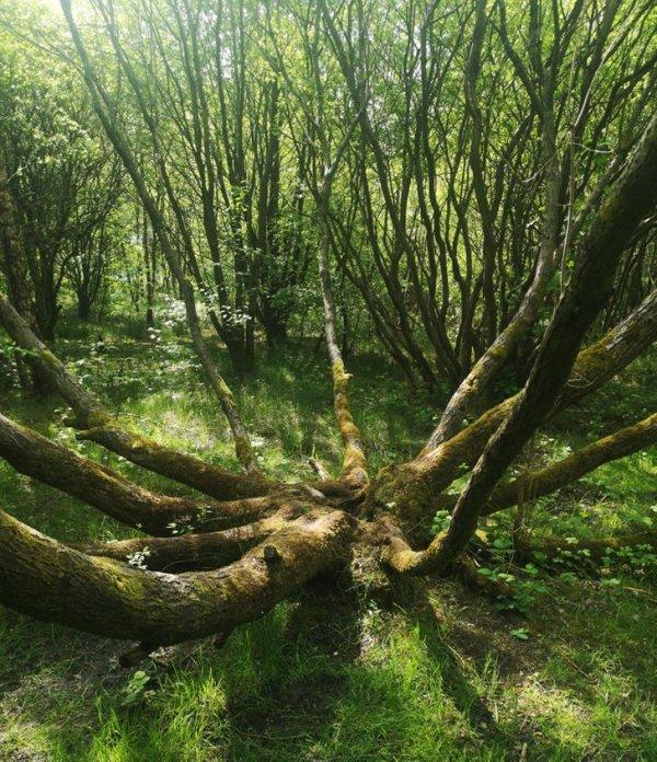 Нашли древо-осьминога в лесах Британии