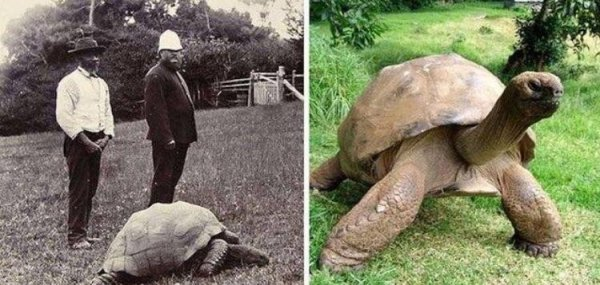 На двух снимках изображена одна и та же гигантская черепаха по имени Джонатан