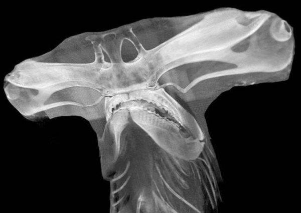 Как выглядит голова акулы-молота