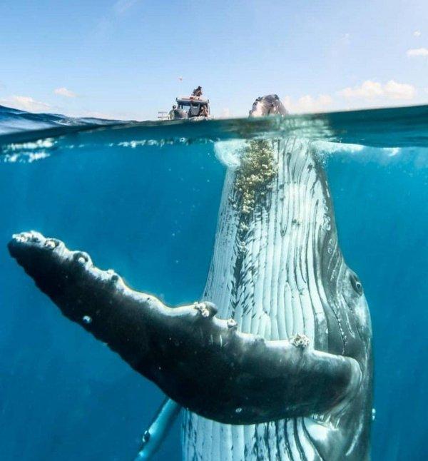 Великий и могучий горбатый кит