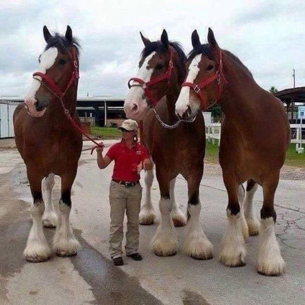 Лошади породы Клейдесдаль и человек