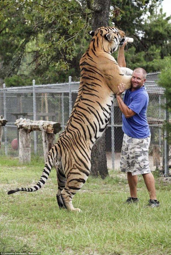 Сибирский тигр по сравнению с человеком