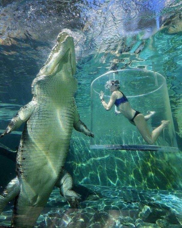 Гребнистый крокодил по сравнению с человеком