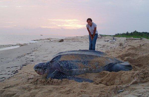 Женщина рядом с кожистой морской черепахой