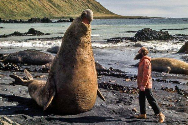 Обычный морские слоны обычно меньше южных