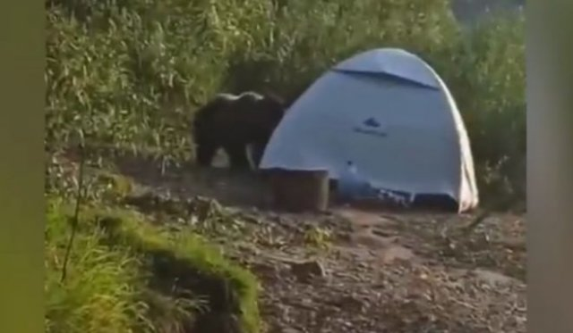 "Медведь ""помог"" туристам собрать палатку"