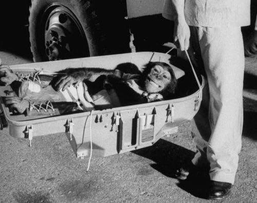 Хэм-первый шимпанзе-астронавт, вернувшийся из своего легендарного 16-часового полета. 1961 год