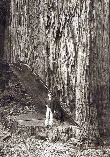На вырубке гигантских секвой, США, 1900-е.