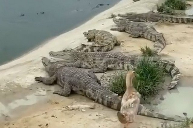 Крокодилы на берегу и утка