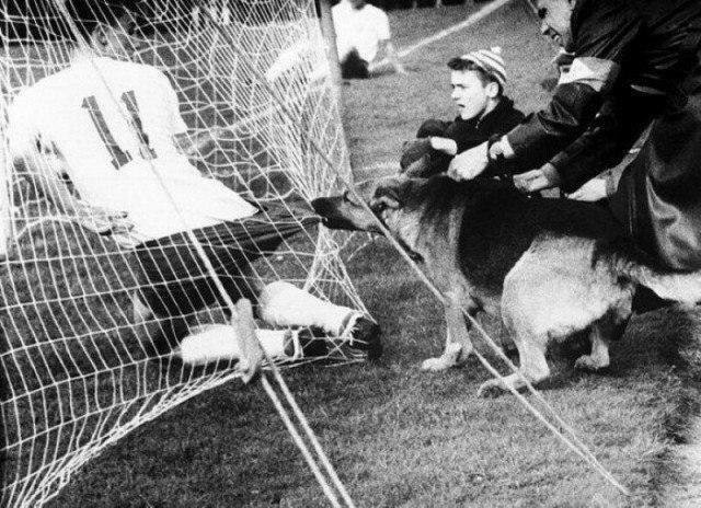 Полицейская собака во время матча в Кельне (Германия) не очень довольна футболистами, 1959 год