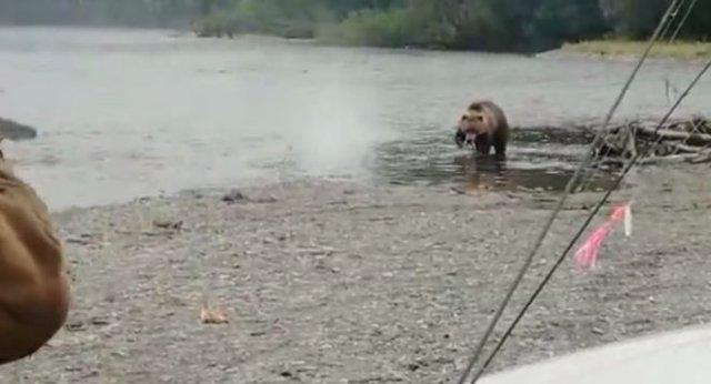 Медведь, которому плевать на выстрелы