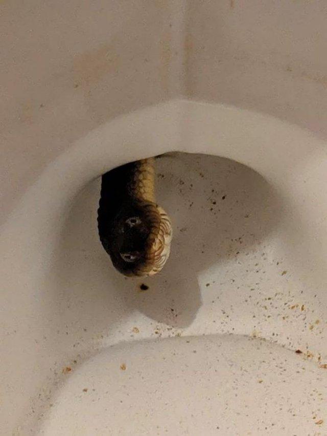 Змея выглянула из унитаза