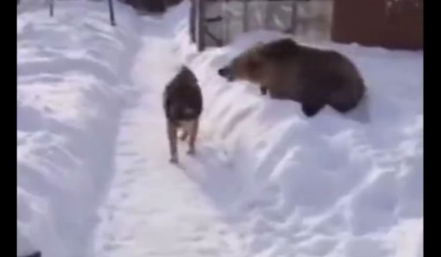 Собака, которой плевать на медведя