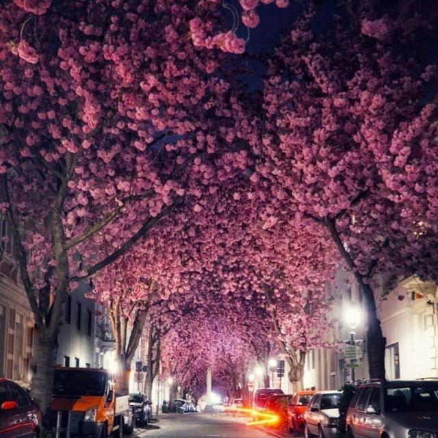 цветущая сакура в немецком городе Бонне