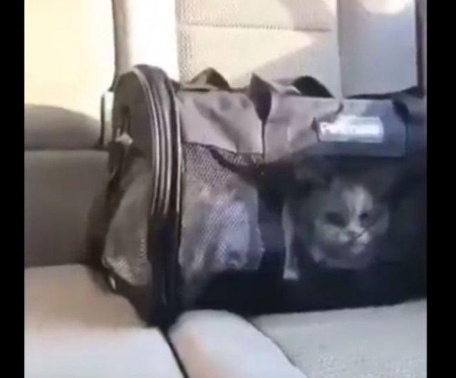 """Не желая сидеть в переноске, кот вполне четко говорит слово """"открой"""""""