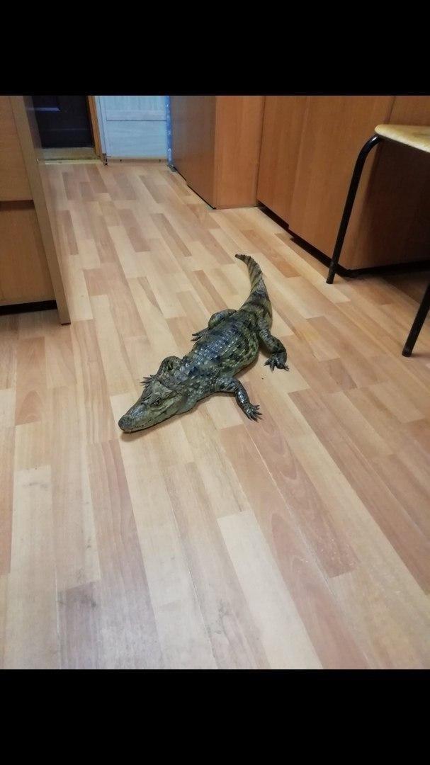 Крокодил на полу Жителя Волгоградской области